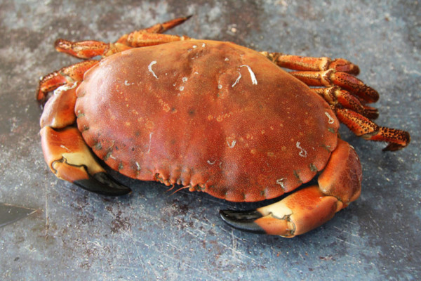 Whole Cornish Female Crabs | Order Online | Next Day Delivery